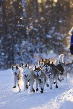 Dog Sled Portrait Sm